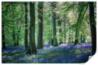 Spring Bluebell Woods, Print