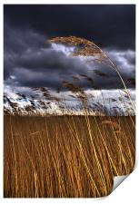 1 Reed in the Wind, Print