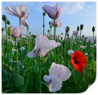 Poppies on a summer morning, Print