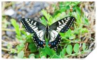 Anise swallowtail butterfly (Papilio zelicaon), Print