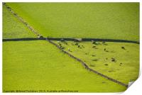 Drystone walls, cows and pastures, Lake Dictrict, Print