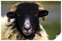 Swaledale Sheep, Print