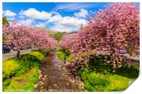 Magical Japanese cherry trees in Scotland , Print