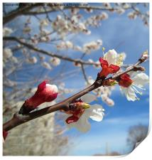 Apricot blossoms in Spring,, Print