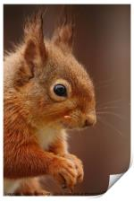 Red Squirrel IV, Print