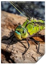 Dragon Fly, Southern Hawker Male., Print