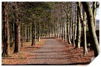 Avenue of tress at Alnwick Gardens, Print