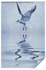 Black-headed gull cyanotype, Print