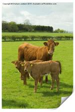 Limousin Cow and calves, Print