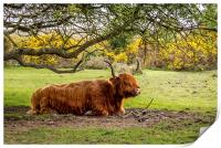 Highland Cow,New Forest,Hampshire, Print