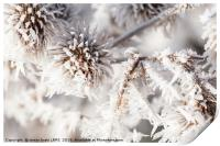 Winter frost on a garden thistle close up, Print