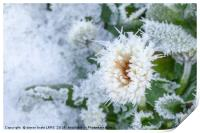 Daisy flower covered in winter ice, Print
