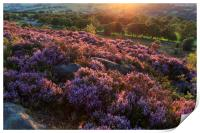 Heather in flower at sunset , Print