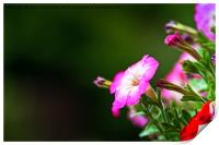 Pink And White Petunia Flower, Print