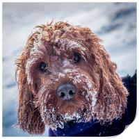 Portrait of a Cockapoo covered in snow, Print