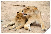 Lioness grooming cub, Print
