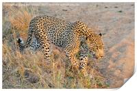 Close encounter with a leopard, Print