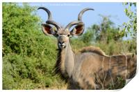 Portrait of a male greater kudu, Print
