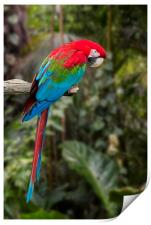 Red-and-green Macaw, Print