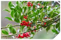 Bright Red Holly Berries, Print
