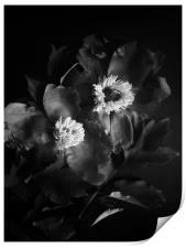 Black peonies flowers, Print