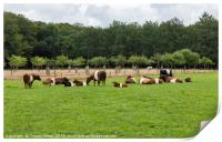 field with dutch belted cows in holland, Print