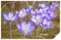 Crocuses in Abstract , Print
