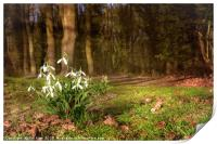 Snowdrops in  Woodland, Print