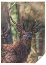 A Red Stag in the woods in the Quantocks Somerset, Print