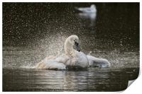 Swan flapping its wings on the lake in Yeovil uk , Print