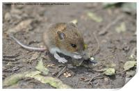 Field Mouse, Print