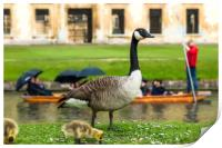 Canadian goose with newly born baby goslings, Print
