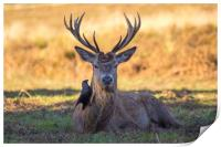 Stag with black bird, Print