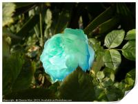 A single blue rose flower, Print