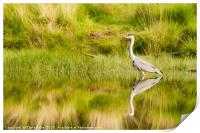 Grey Heron reflected in a still pond, Print
