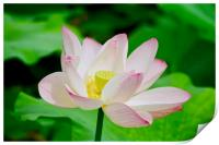Lotus Flower at the Old Summer Palace Beijing, Print