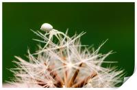 Tiny Crab Spider On A Dandelion , Print