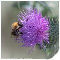 Bee on a Thistle, Print