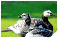 Gosling and Adult Barnacle Goose, Print