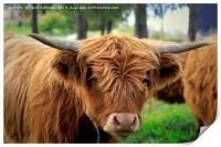 Portrait of Young Highland Bull, Print