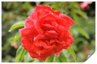 Beautiful red rose in the park, Print