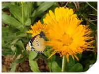 Butterfly on a yellow flower.... , Print