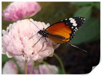 A Butterfly on a pink flower , Print
