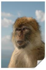 Barbary ape in thought , Print