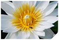 Wasp on a flower, Print