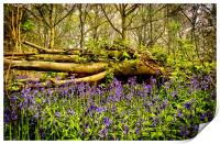In The Depths of Bluebell Wood, Jubilee woods, Print