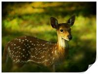 Indian Spotted Deer, Print