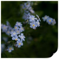Blue Forget Me Not, Print