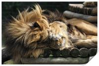 Sleeping Lion on wooden bed, Print