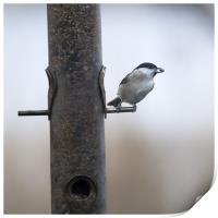 Marsh Tit with a sunflower seed, Print